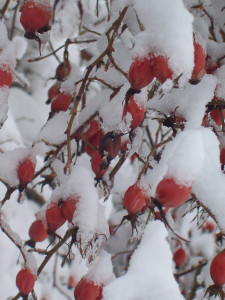 Verschneite Hagebutten (Foto: Tina Bungeroth)