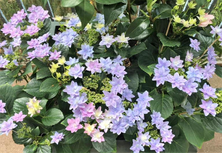 Frühlingsfarben Blaue Hortensie