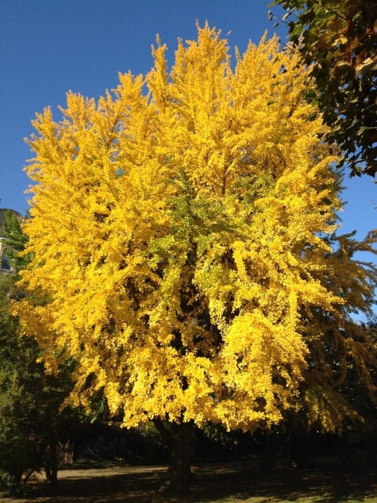 Herbstfarben: Baum mit gelbem Herbstlaub (Foto: © Britta Sopp).