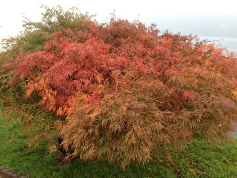 Herbstfarben: Roter japan. Ahorn (Foto: © Britta Sopp).