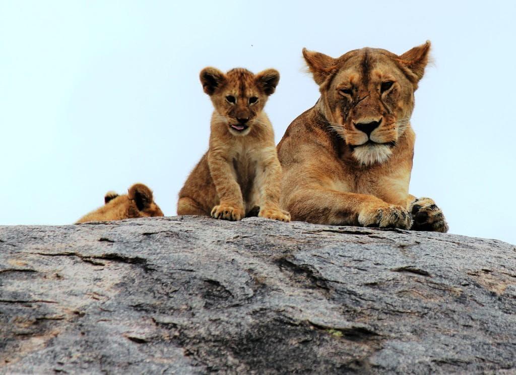 Löwin mit Jungen (Foto: © Bodo Meier)
