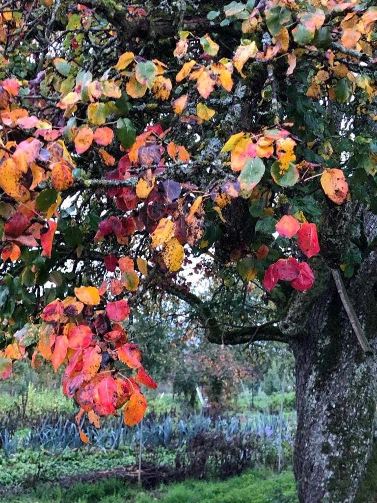 Herbstfarben: Indian Summer Apfelbaum (Foto: © Robert Süess)