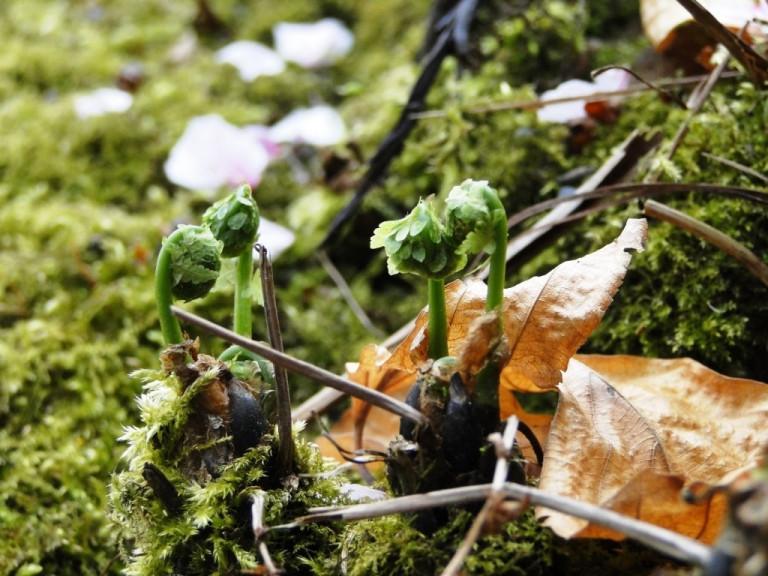Neuanfang Frühling Farnwedel vor dem Ausrollen
