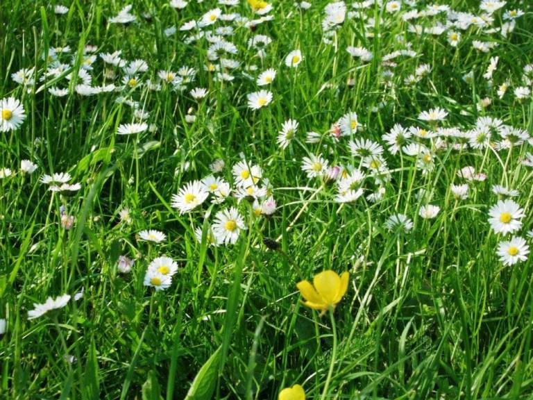 Neuanfang Frühling Gänseblümchen-Wiese