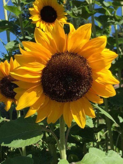 Die Farben des Sommers Sonnenblume